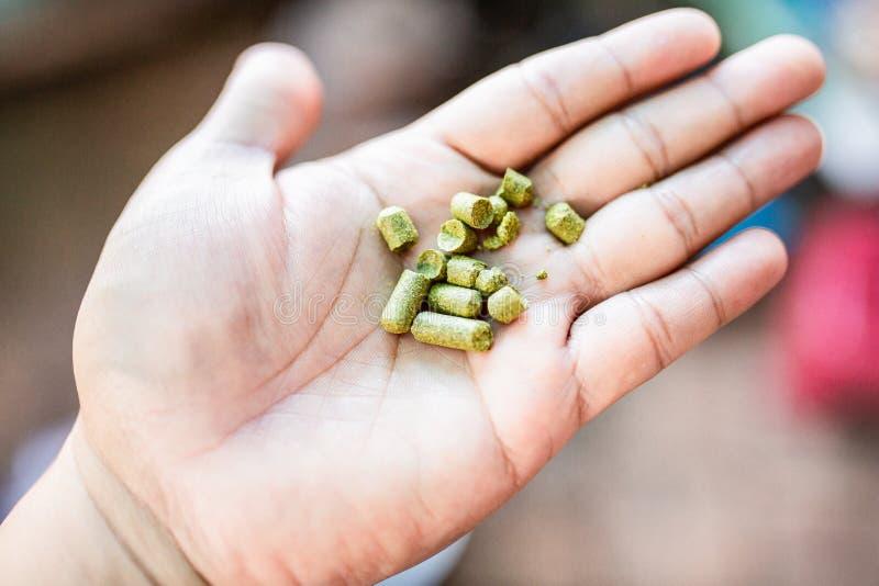Houblon de granules sur ma main pour le brassage à la maison, bière thaïlandaise de métier photo stock