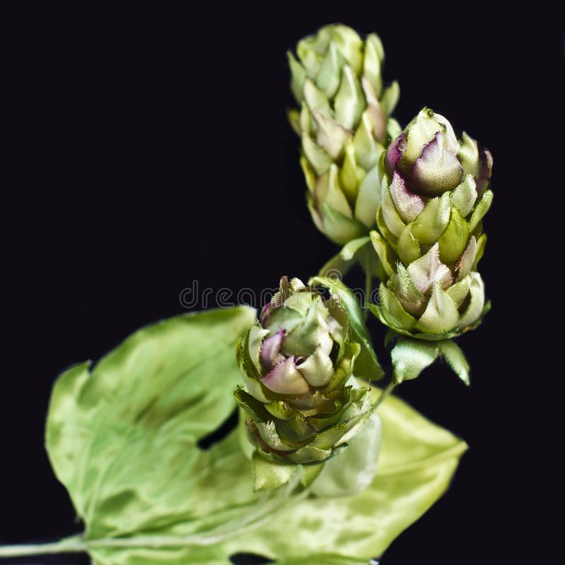 Houblon en cônes d'isolement sur un fond noir Faux f de soie artificielle photographie stock libre de droits