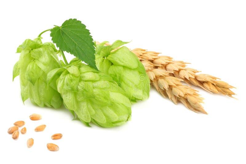 Houblon en cônes et oreilles de blé d'isolement sur le fond blanc Ingrédients de brassage de bière Concept de brasserie de bière  image libre de droits
