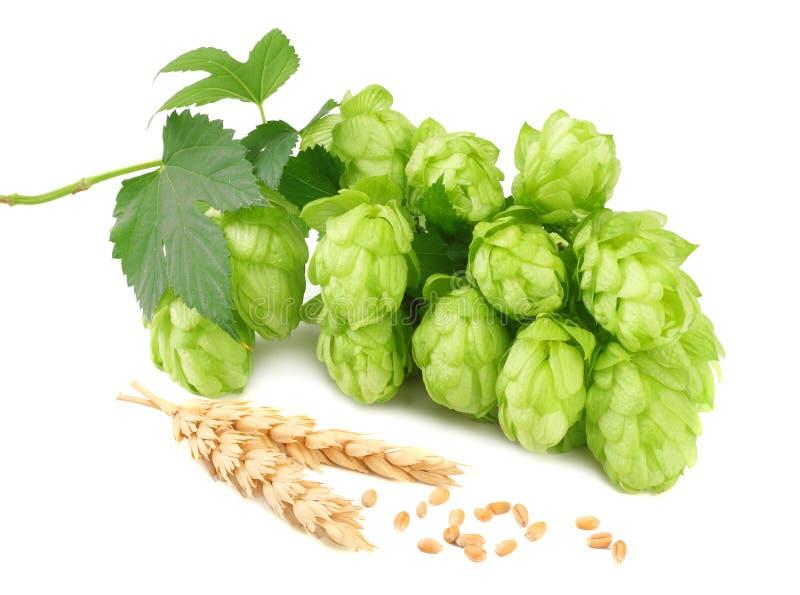 Houblon en cônes et oreilles de blé d'isolement sur le fond blanc Ingrédients de brassage de bière Concept de brasserie de bière  image stock