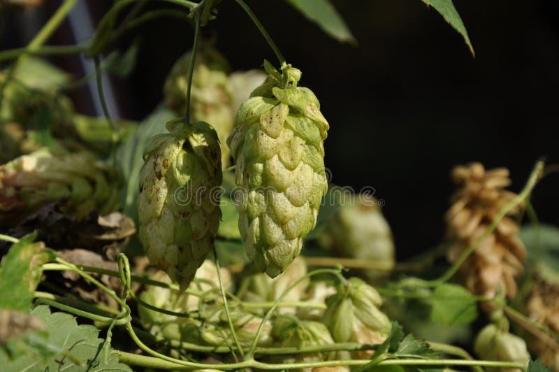 Houblon en cônes frais vert pour faire le plan rapproché de bière et de pain photographie stock