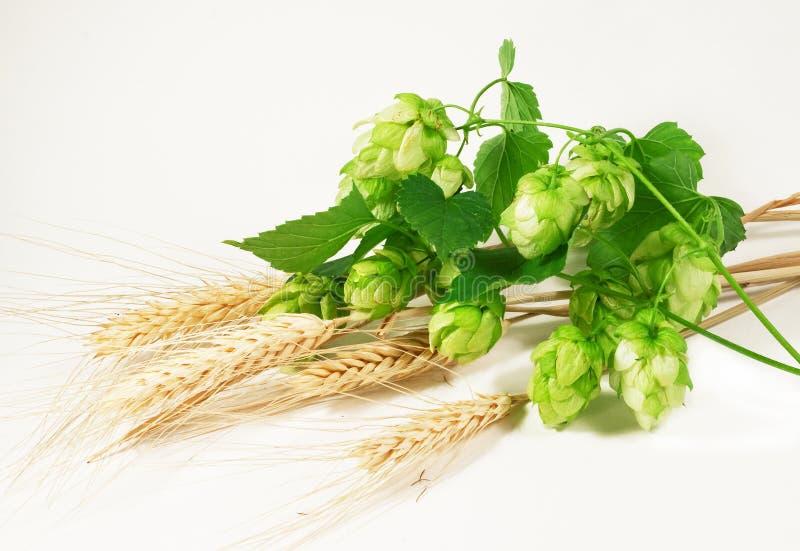 Houblon et blé image libre de droits