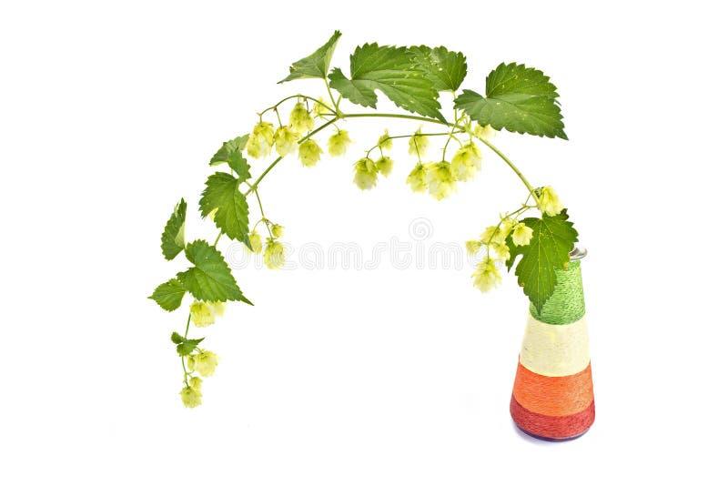 Houblon ou Humulus photos stock