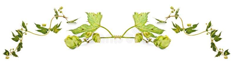 Houblon ou Humulus collage image libre de droits