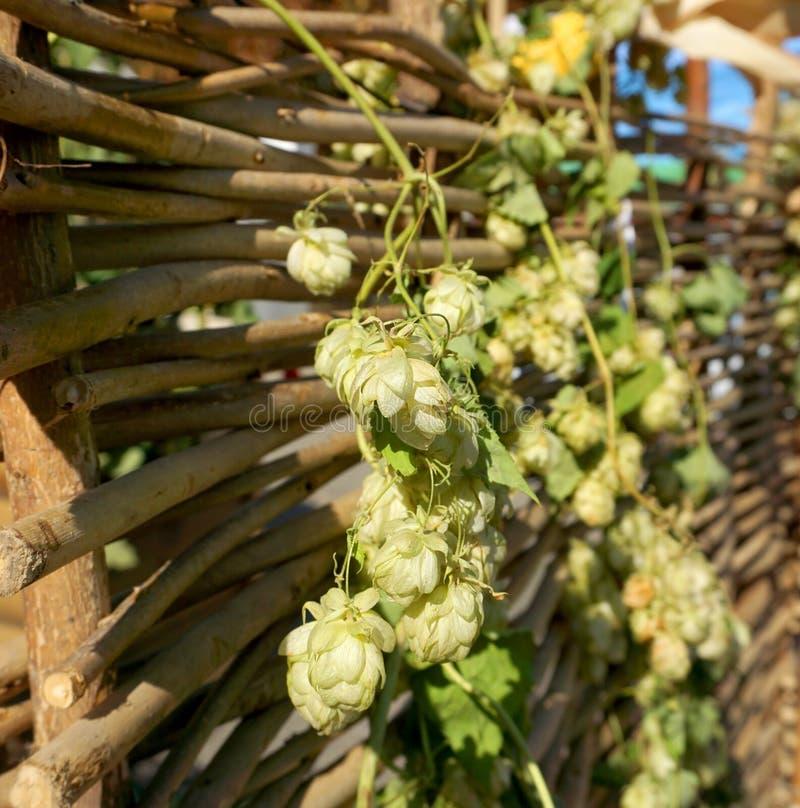 Houblon sur une barrière en bois des tiges photos stock