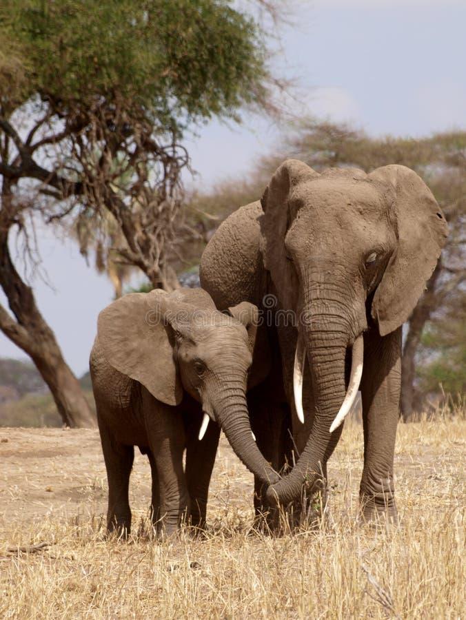 Houdend van olifanten, moeder en kind stock afbeelding