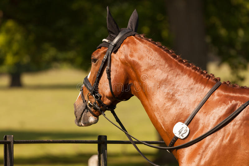 Houghton international horse trials May 2017. HOUGHTON, NORFOLK/ENGLAND - May 25th 2017: Houghton International Horse Trials 2017 Chilli Knight. Including cross stock photography