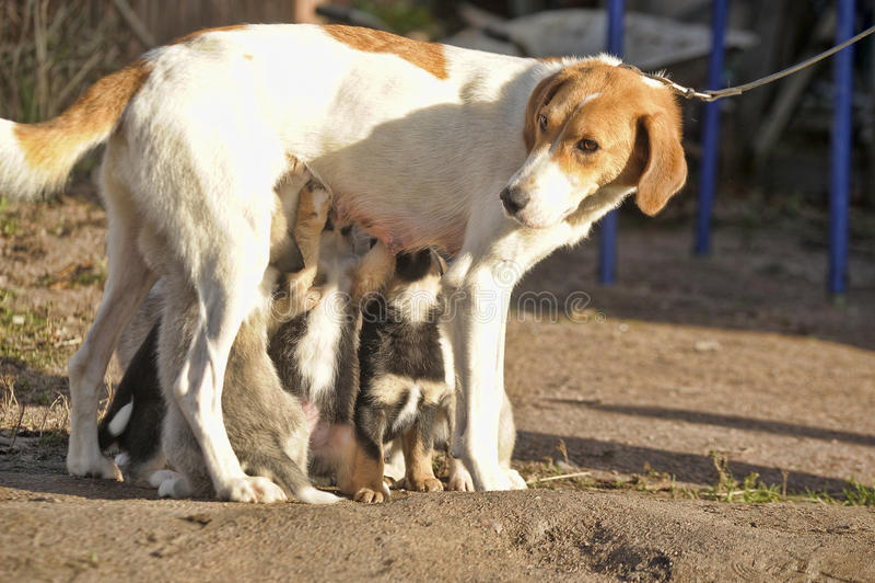 Hound Dog Puppies Feeding Stock Photo Image 46236385