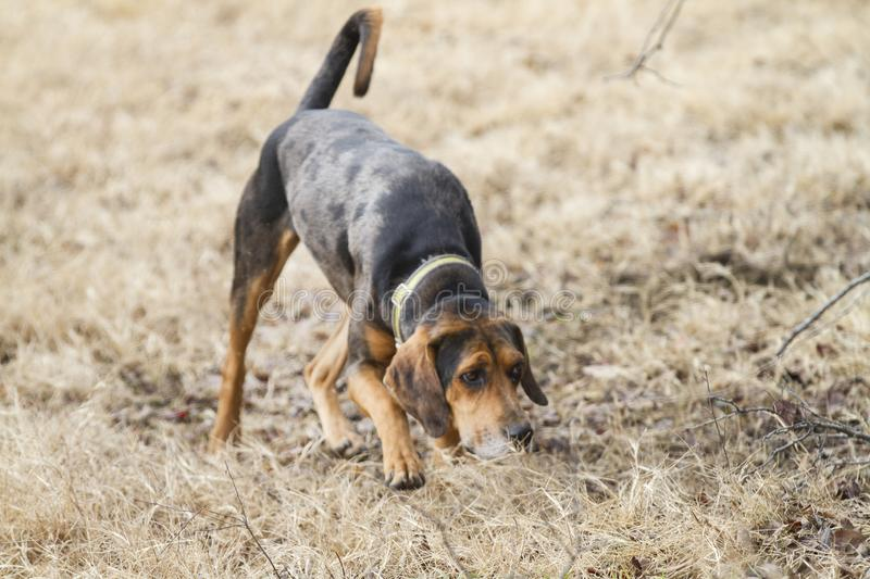 Hound dog tracking a scent stock photo