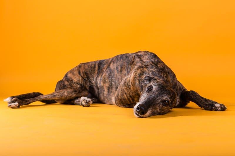 Hound dog. On yellow background stock photos