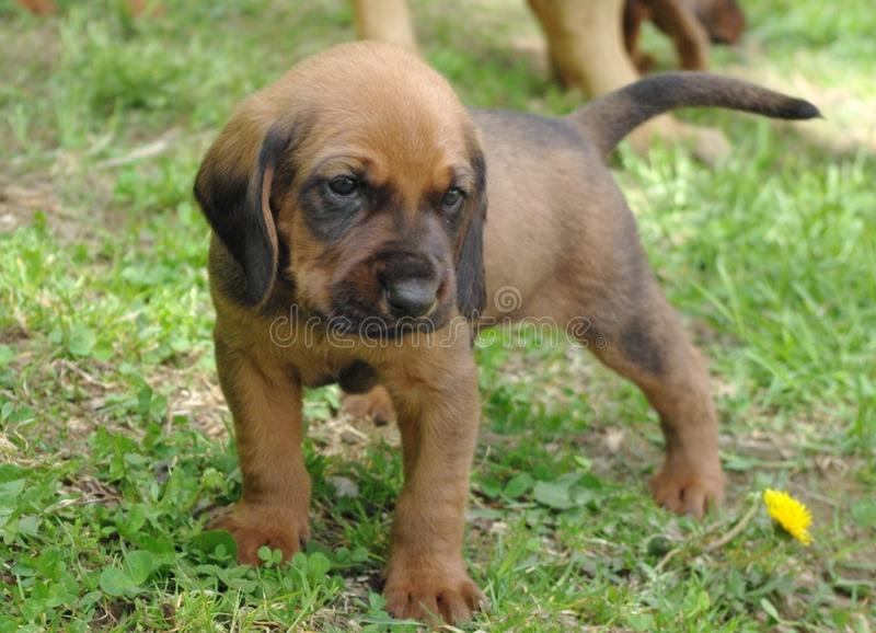 Hound Puppy! royalty free stock image
