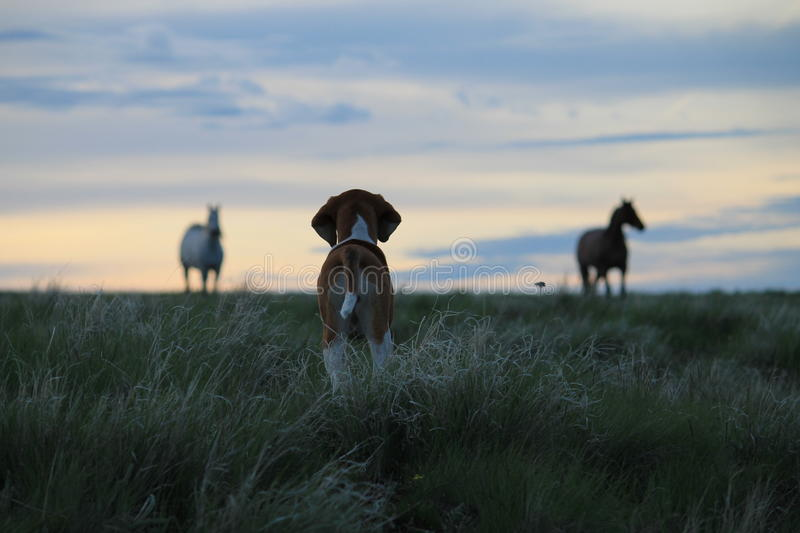 Hound puppy watching horses at sunset stock image