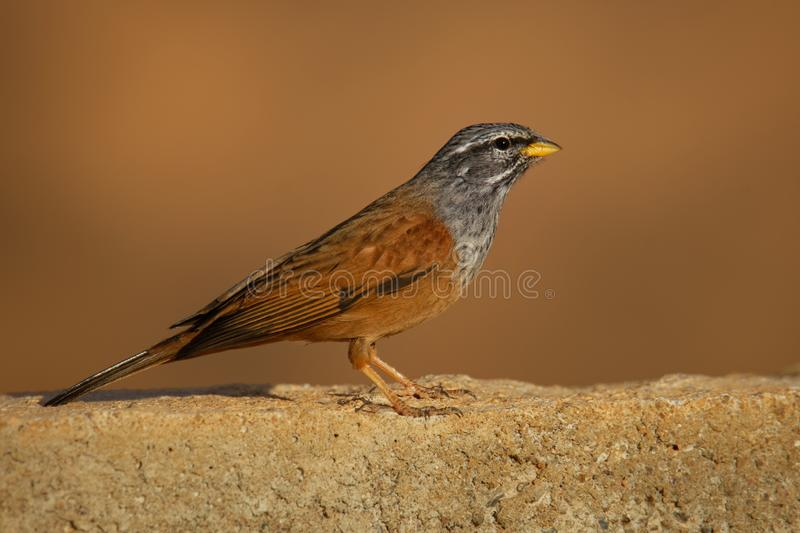 House bunting - Emberiza sahari  passerine bird in the bunting family Emberizidae, resident breeder of dry country from north-. Western Africa from Morocco south stock image