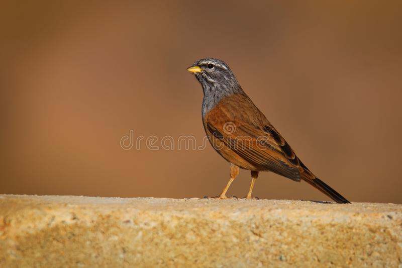 House bunting - Emberiza sahari  passerine bird in the bunting family Emberizidae, resident breeder of dry country from north-. Western Africa from Morocco south royalty free stock images