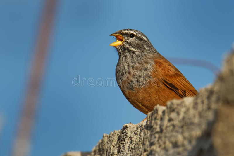 House bunting - Emberiza sahari  passerine bird in the bunting family Emberizidae, resident breeder of dry country from north-. Western Africa from Morocco south royalty free stock photography