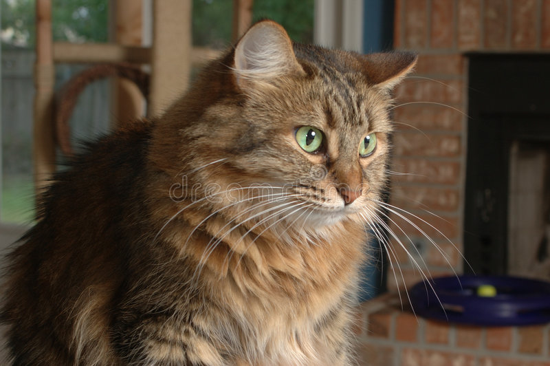 Download House Cat stock photo. Image of long, tufts, eyes, fuzzy - 182826