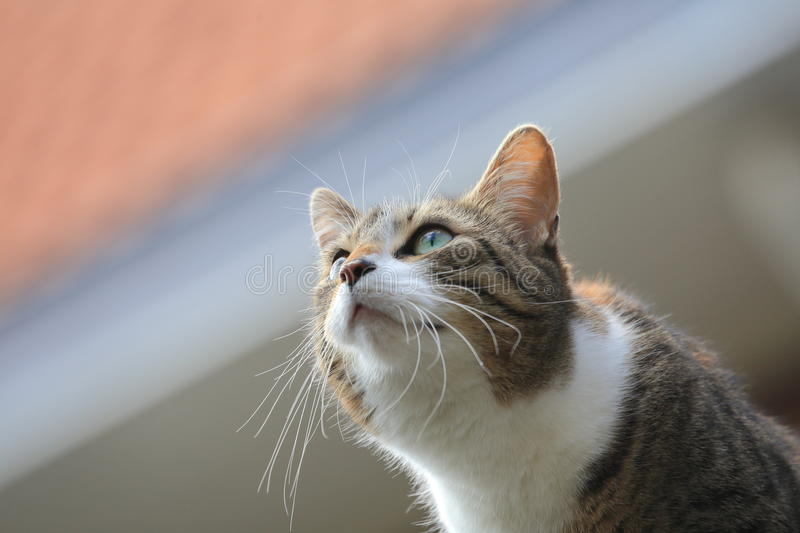 House cat intensely fixated. A house cat intensely focuses on bird (out of frame royalty free stock photography
