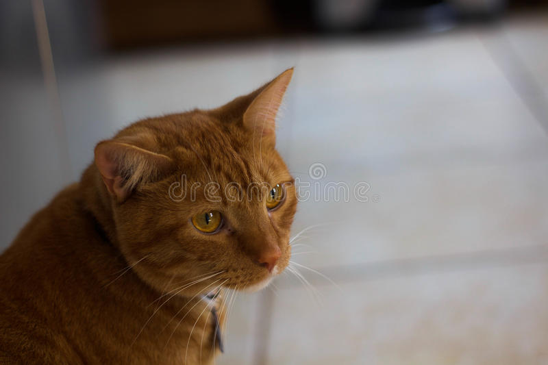 House cat. Looking off into the distance stock photography