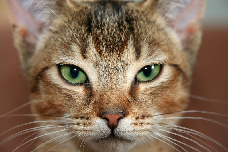 House cat portrait royalty free stock photography