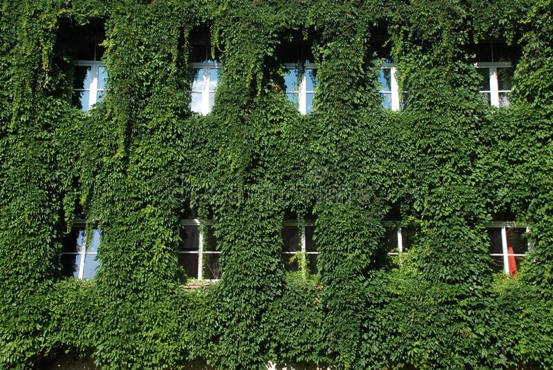 House Covered with bindweed except windows royalty free stock image