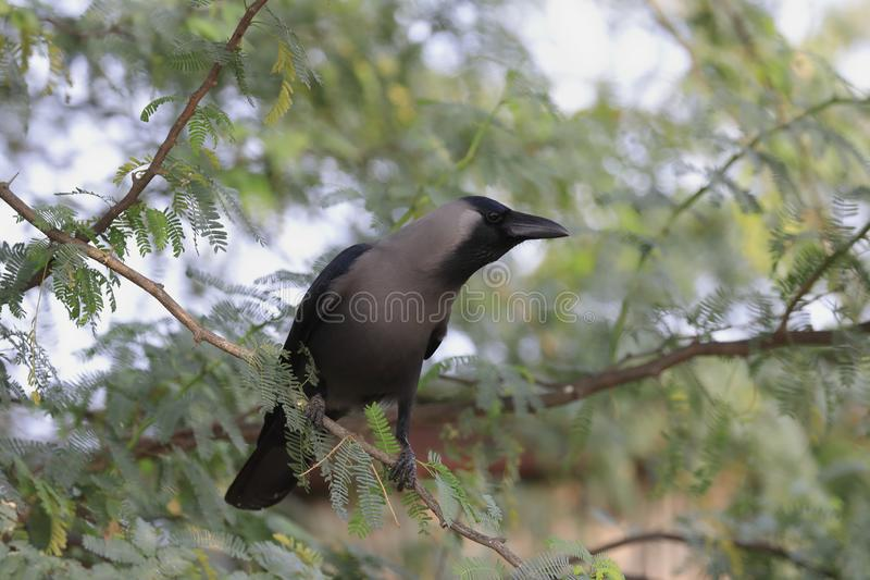 A House crow up close royalty free stock images