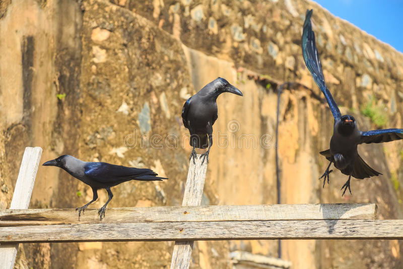 House crow or Corvus splendens protegatus royalty free stock photo