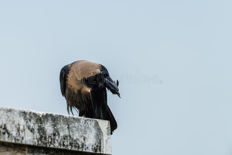 House crow perched. Common Indian house crow perched over a structure stock image