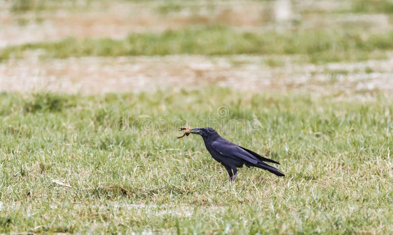 House Crow scavenging on a lake bed stock photo