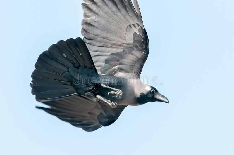 House crow swooping stock photography