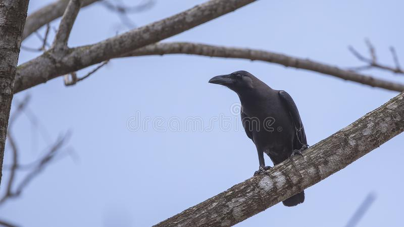 House Crow on Tree Branch stock image