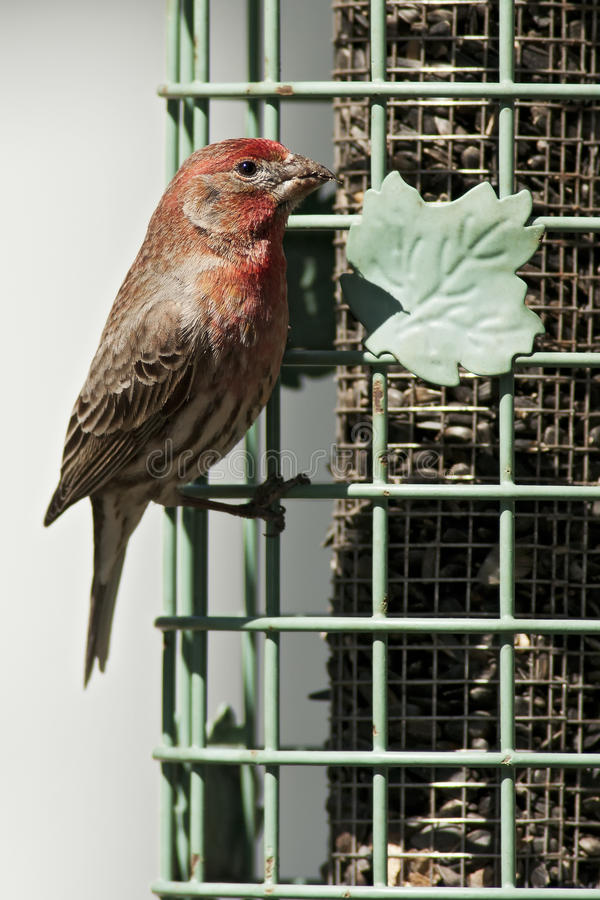 Download House Finch stock image. Image of nature, feeder, hobby - 24362469