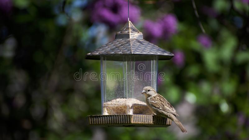 A house finch bird on a feeder royalty free stock image