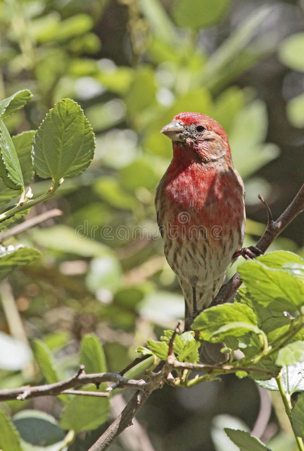 House Finch. Common Bird With Red Head Perched In Tree stock image