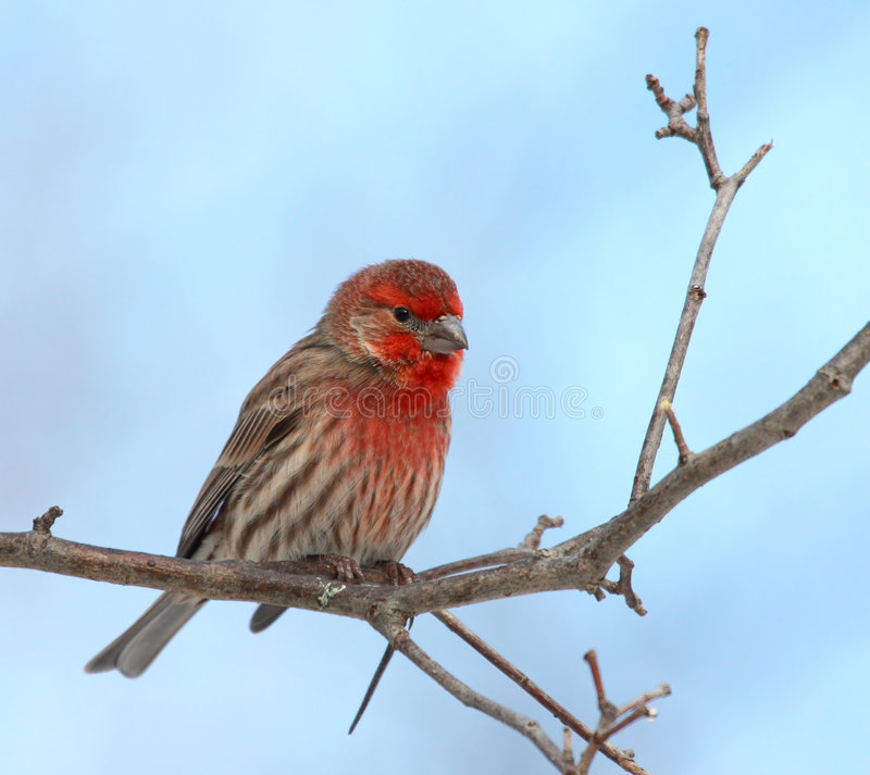 Download House Finch male stock image. Image of blue, close, details - 3826271