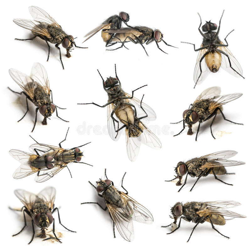 Download 11 House Flies Stock Photo - Image: 39254796