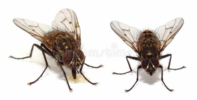 House flies on white. A couple of house flies (common fly) on white stock images