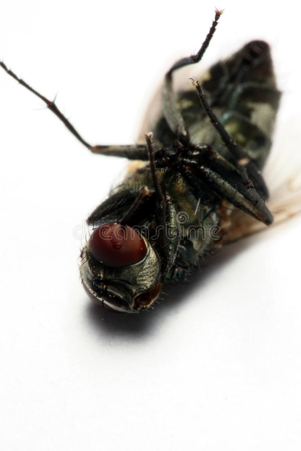 Download House Fly stock image. Image of danger, animal, head - 11430555