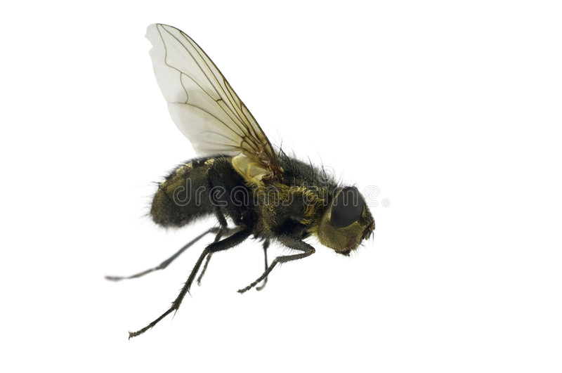 House-fly royalty free stock images