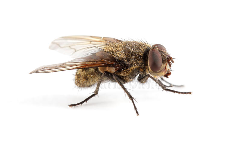 Download House fly stock image. Image of background, isolated - 20998635