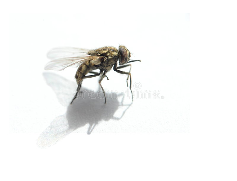 Download House Fly Stock Photography - Image: 6408522