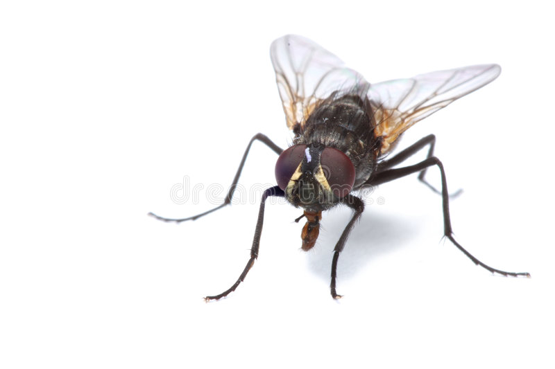 House fly isolated royalty free stock photos