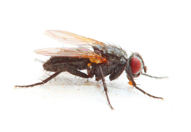 The House Fly - Musca Domestica isolated on white background. royalty free stock image