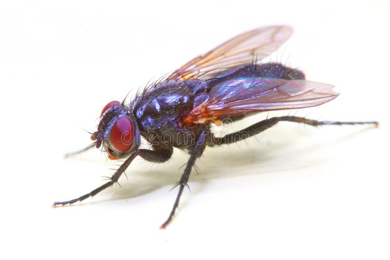 The House Fly - Musca Domestica isolated on white background. royalty free stock photos