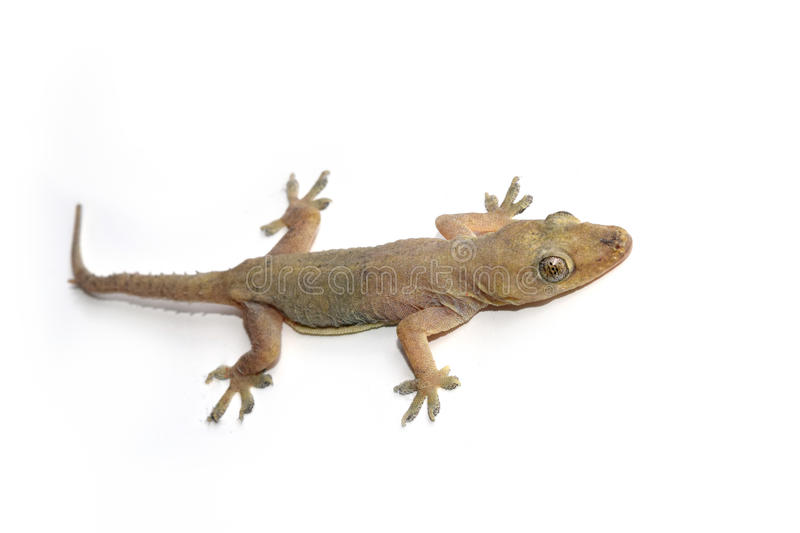 House gecko or Half-toed gecko or House lizard. Isolate on white background stock photo