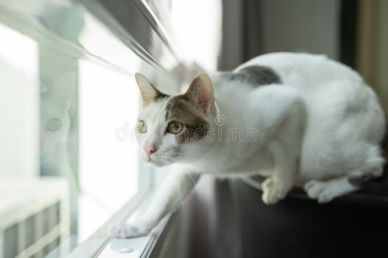 House kitten white cat looking outside like it hunting for bird.  royalty free stock photo