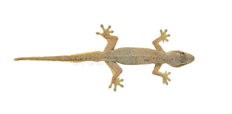 House Lizard Stock Image
