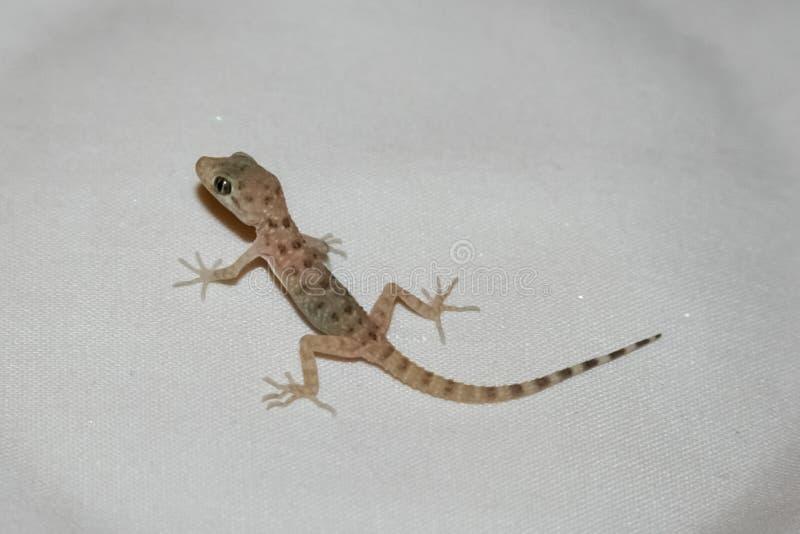 House lizard or little gecko on a white sheet. Close-up stock photos