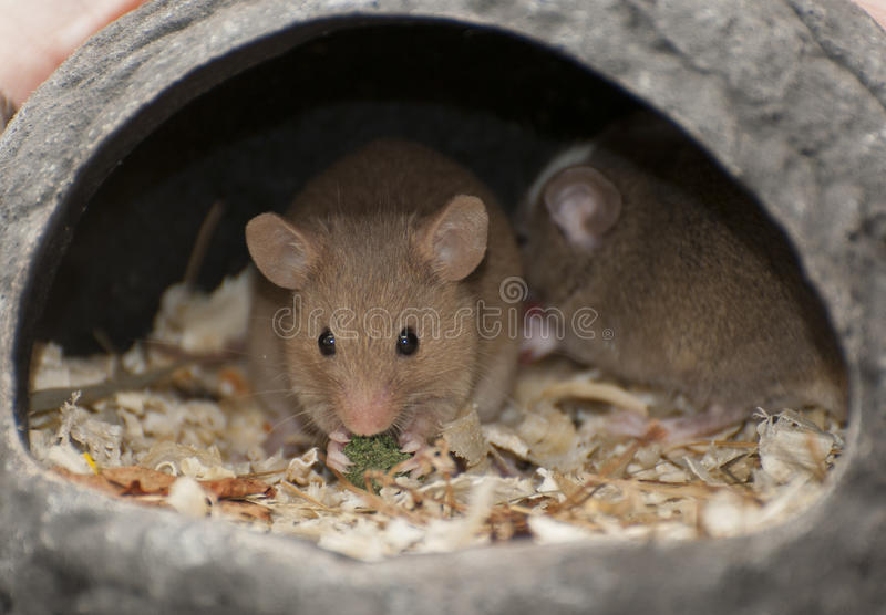 House mouse stock image