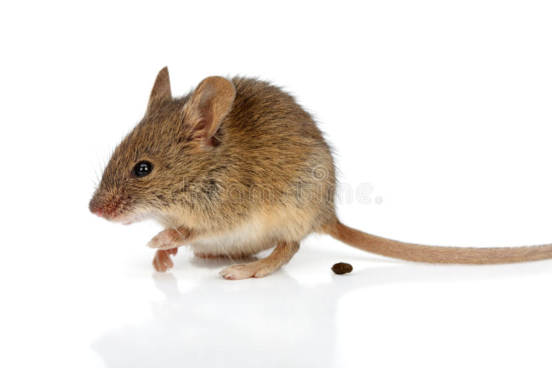 Download House mouse (Mus musculus) stock photo. Image of tiny - 33329842