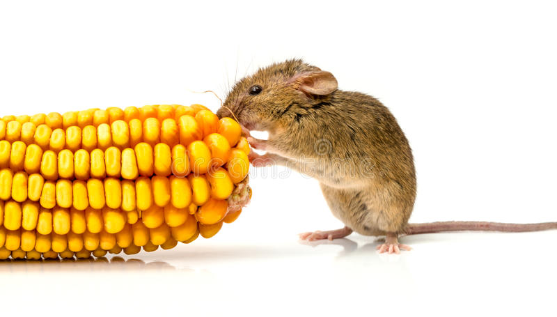 House mouse (Mus musculus) eating corn. Close view of a tiny house mouse (Mus musculus) eating corn seeds stock images